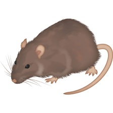 Norway Rat, also known as Common Rat, or Brown Rat