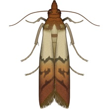 "<img src=""/-/media/PRFPhilippines/Problem images/Pests/Indian Meal Moth.ashx?h=800&la=en-PH&w=800"" alt=""Indian Meal Moth"" width=""800"" height=""800"" />"