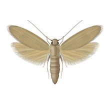 "<img src=""/-/media/PRFPhilippines/Problem images/Pests/Rice Moth.ashx?h=800&la=en-PH&w=800"" alt=""Rice Moth - Pest Control - Bayer"" width=""800"" height=""800"" />"
