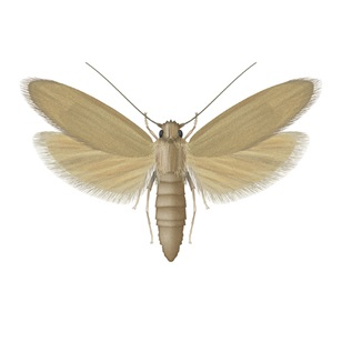 Rice Moth - Pest Control - Bayer