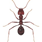 Meat Ant